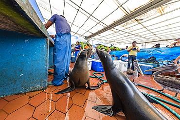 Scenes from the fish market in the port town of Puerto Ayora, Santa Cruz Island, Galapagos, Ecuador, South America