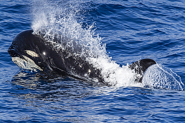 A young Type D (sub-Antarctic) killer whale (Orcinus orca), surfacing in the Drake Passage, Antarctica, Polar Regions