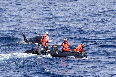 Zodiac near Type D (sub-Antarctic) killer whale (Orcinus orca), in the Drake Passage, Antarctica, Polar Regions