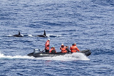 Zodiac near Type D (sub-Antarctic) killer whale (Orcinus orca), in the Drake Passage, Antarctica, Polar Regions
