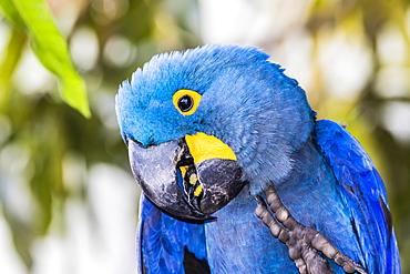 An adult hyacinth macaw (Anodorhynchus hyacinthinus), Pousado Rio Claro, Mato Grosso, Brazil, South America