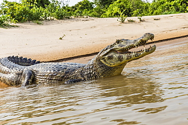 An adult yacare caiman (Caiman yacare), on the riverbank near Porto Jofre, Brazil, South America