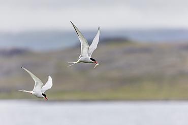 Adult Arctic terns (Sterna paradisaea), returning to the nest with fish, Vigur Island, Iceland, Polar Regions
