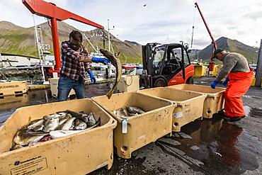 Sorting freshly caught fish in Siglufjorour, Siglufjordur, off the north coast of Iceland, Polar Regions