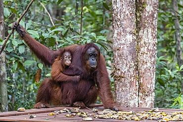 Mother and baby Bornean orangutans (Pongo pygmaeus), Camp Leakey feeding platform, Borneo, Indonesia, Southeast Asia, Asia