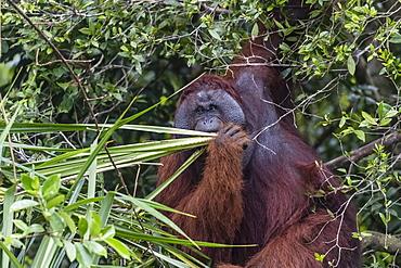 Wild male Bornean orangutan (Pongo pygmaeus), on the Sekonyer River, Borneo, Indonesia, Southeast Asia, Asia