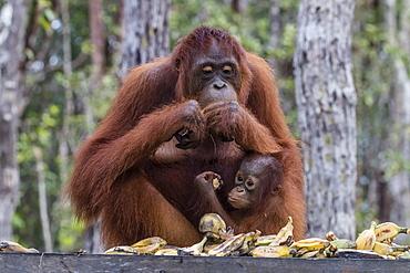 Mother and baby Bornean orangutans (Pongo pygmaeus), Buluh Kecil River, Borneo, Indonesia, Southeast Asia, Asia