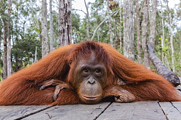 Mother Bornean orangutan (Pongo pygmaeus) on feeding platform, Buluh Kecil River, Borneo, Indonesia, Southeast Asia, Asia