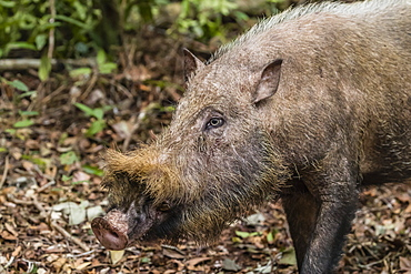 Adult Bornean bearded pig (Sus barbatus), Tanjung Puting National Park, Kalimantan, Borneo, Indonesia, Southeast Asia, Asia