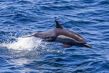 Long-beaked common dolphin (Delphinus capensis) leaping, Isla Danzante, Baja California Sur, Mexico, North America
