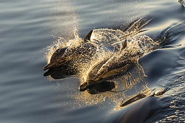 Long-beaked common dolphins (Delphinus capensis), wake riding, Isla Danzante, Baja California Sur, Mexico, North America