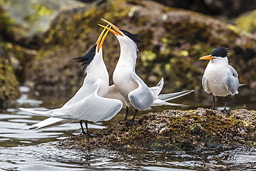 Elegant terns (Thalasseus elegans) in courtship display on Isla Rasa, Baja California, Mexico, North America