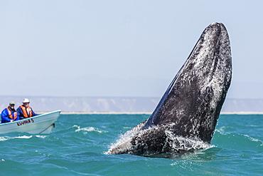 California gray whale calf (Eschritius robustus), breaching in San Ignacio Lagoon, Baja California Sur, Mexico. North America