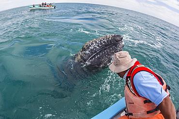 California gray whale calf (Eschritius robustus), with tourists in San Ignacio Lagoon, Baja California Sur, Mexico, North America