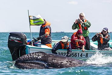 California gray whale calf (Eschritius robustus) with tourists in San Ignacio Lagoon, Baja California Sur, Mexico, North America
