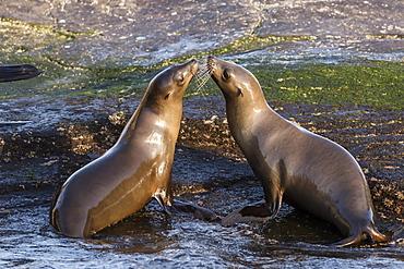 Young California sea lions (Zalophus californianus) mock fighting, Isla San Pedro Martir, Baja California, Mexico, North America
