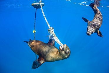 Playful California sea lions (Zalophus californianus), with mooring ball at Los Islotes, Baja California Sur, Mexico, North America