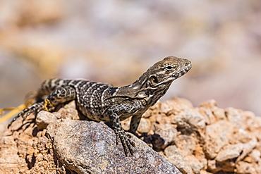 Juvenile San Esteban spiny-tailed iguana (Ctenosaura conspicuosa), Isla San Esteban, Baja California, Mexico, North America