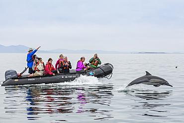 Long-beaked common dolphin (Delphinus capensis), with Zodiac, Isla San Lorenzo, Baja California Sur, Mexico, North America