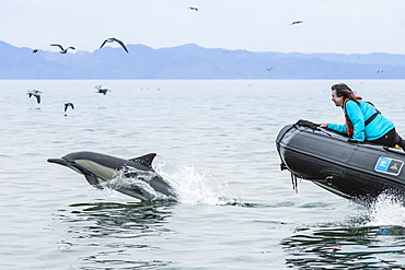 Long-beaked common dolphin (Delphinus capensis) with Zodiac, Isla San Lorenzo, Baja California Sur, Mexico, North America