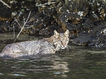 Adult female bobcat (Lynx rufus) swimming in the Homosassa River, Florida, United States of America, North America