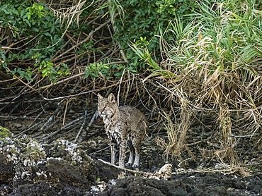 Adult female bobcat (Lynx rufus) after swimming in the Homosassa River, Florida, United States of America, North America