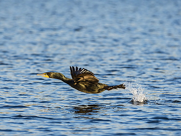 Adult double-crested cormorant (Phalacrocorax auritus) in flight on the Homosassa River, Florida, United States of America, North America