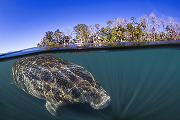 West Indian manatee (Trichechus manatus), half above and half below, Homosassa Springs, Florida, United States of America, North America