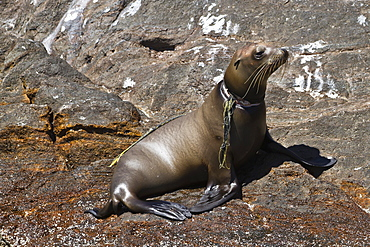California sea lion pup (Zalophus californianus) entangled in net, Los Islotes, Baja California Sur, Gulf of California (Sea of Cortez), Mexico, North America