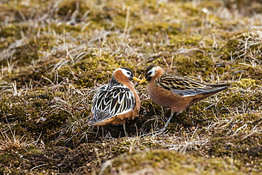 A pair of red phalaropes (Phalaropus fulicarius) in courtship display at Russebuhkta, Edgeoya, Svalbard, Arctic, Norway, Europe