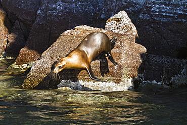 California sea lion (Zalophus californianus), Los Islotes, Baja California Sur, Gulf of California (Sea of Cortez), Mexico, North America