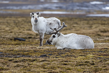 Svalbard reindeer (Rangifer tarandus) grazing at Russebuhkta, Edgeoya, Svalbard Archipelago, Arctic, Norway, Europe