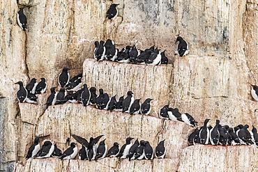 Brunnich's Guillemot (Uria lomvia), nesting cliffs at Cape Fanshawe, Spitsbergen, Svalbard, Arctic, Norway, Europe