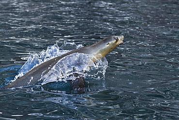 California sea lion (Zalophus californianus) porpoising, Los Islotes, Baja California Sur, Gulf of California (Sea of Cortez), Mexico, North America