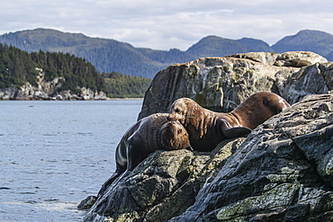 Adult bull Steller sea lions (Eumetopias jubatus), mock fighting, Inian Islands, Alaska, United States of America, North America