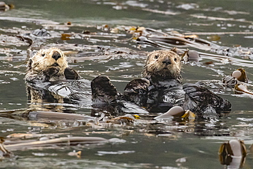 Adult sea otters (Enhydra lutris kenyoni) preening in the Inian Islands, Southeast Alaska, United States of America, North America
