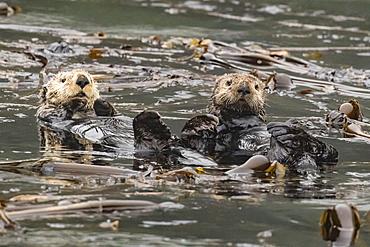 Adult sea otters (Enhydra lutris kenyoni) preening in the Inian Islands, Southeast Alaska, United States of America, North America