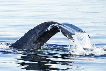 Adult humpback whale (Megaptera novaeangliae), flukes-up dive in Stephen's Passage, Southeast Alaska, United States of America, North America