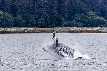 Humpback whale (Megaptera novaeangliae) breaching near the Glass Peninsula, southeast Alaska, United States of America, North America