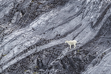 An adult mountain goat (Oreamnos americanus), at Gloomy Knob in Glacier Bay National Park, Southeast Alaska, United States of America, North America