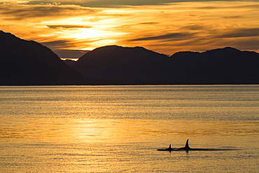 Killer whales (Orcinus orca) surfacing at sunset near Point Adolphus, Icy Strait, Southeast Alaska, United States of America, North America