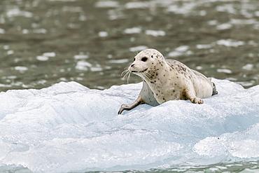 Harbor seal (Phoca vitulina) pup on ice in front of Dawes Glacier, Endicott Arm, southeast Alaska, United States of America, North America