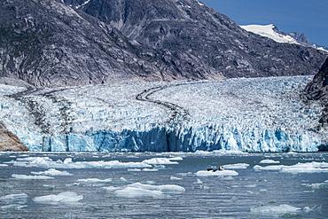 Harbor seals (Phoca vitulina) on ice in front of Dawes Glacier, Endicott Arm, southeast Alaska, United States of America, North America