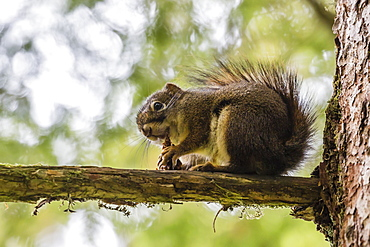 An adult American red squirrel (Tamiasciurus hudsonicus), on Chichagof Island, Alaska, United States of America, North America