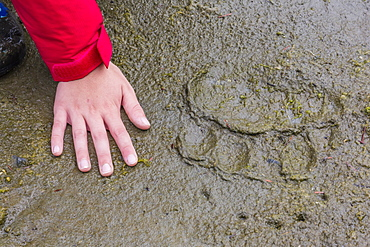 Adult brown bear (Ursus arctos) paw print in the mud at Chichigof Island, southeast Alaska, United States of America, North America