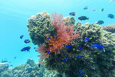 Beautiful soft coral on the island of Vanua Balavu, Northern Lau Group, Republic of Fiji, South Pacific Islands, Pacific