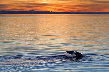Sperm whale (Physeter macrocephalus) at sunset, Isla San Pedro Martir, Gulf of California (Sea of Cortez), Baja California Norte, Mexico, North America
