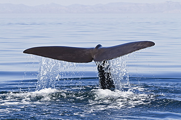 Sperm whale (Physeter macrocephalus) flukes up dive, Isla San Pedro Martir, Gulf of California (Sea of Cortez), Baja California Norte, Mexico, North America