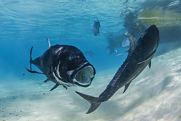 Giant trevally (Caranx ignobilis), at One Foot Island, Aitutaki, Cook Islands, South Pacific Islands, Pacific