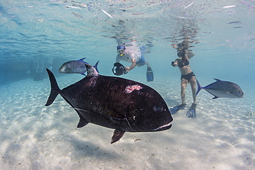 Giant trevally (Caranx ignobilis), with photographer at One Foot Island, Aitutaki, Cook Islands, South Pacific Islands, Pacific